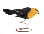 Yellow Breasted Blackbird